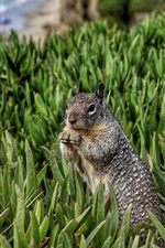 Preview iPhone wallpaper Rodent, squirrel in grass