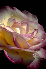 Preview iPhone wallpaper Rose close-up, pink white petals, water drops, black background
