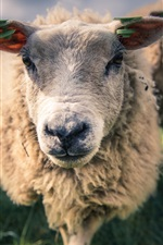 Preview iPhone wallpaper Sheep, front view, face