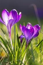 Preview iPhone wallpaper Spring, crocuses, purple flowers, grass