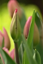 Preview iPhone wallpaper Spring, tulips flower buds, blurry