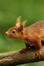 Squirrel, branch, green background