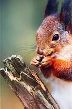 Squirrel close-up, bokeh