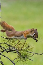 Preview iPhone wallpaper Squirrel jump, pine tree