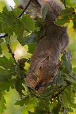 Preview iPhone wallpaper Squirrel, tree, oak
