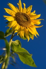 Preview iPhone wallpaper Sunflower, leaves, blue sky