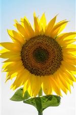 Preview iPhone wallpaper Sunflower, yellow petals, backlight, blue sky