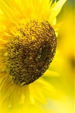 Sunflower, yellow petals, bokeh