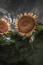 Preview iPhone wallpaper Sunflowers, backlight