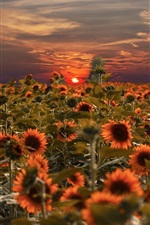 Preview iPhone wallpaper Sunflowers field, sunset