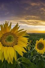 Preview iPhone wallpaper Sunflowers, grass, sunset