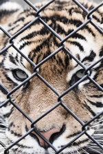 Preview iPhone wallpaper Tiger, fence, zoo