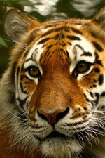 Tiger look back, face