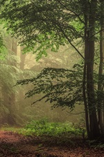 Preview iPhone wallpaper Trees, forest, fog, morning