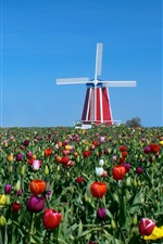 Preview iPhone wallpaper Tulips, windmill, blue sky