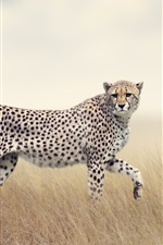 Two cheetahs, predators, grass