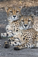 Preview iPhone wallpaper Two cheetahs rest