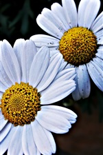 Preview iPhone wallpaper Two daisies flowers, white petals