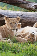 Preview iPhone wallpaper Two lions, cubs, playful
