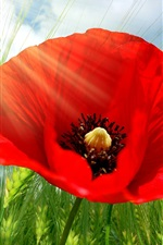 Preview iPhone wallpaper Wheat, red poppy flower