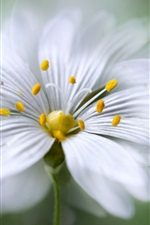 Preview iPhone wallpaper White petals flower macro photography, stamens