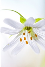 White petals orchid flower, stamens, stem