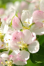 Preview iPhone wallpaper White pink apple flowers, bee, twigs, spring