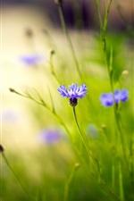 Flores selvagens, flores azuis, grama, bokeh, natureza