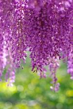 Aperçu iPhone fond d'écranWisteria, inflorescence, belles fleurs violettes