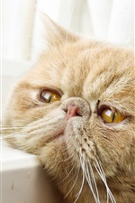 Preview iPhone wallpaper Yellow eyes cat, window