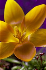Preview iPhone wallpaper Yellow flower, petals, dew