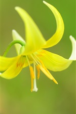 Preview iPhone wallpaper Yellow orchid, stamens, petals