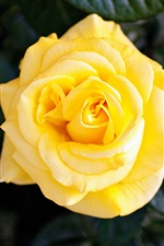 Preview iPhone wallpaper Yellow rose, single flower