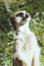Preview iPhone wallpaper A meerkat standing up