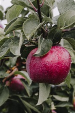 Preview iPhone wallpaper Apple tree, ripe red apples, twigs, leaves