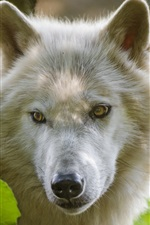 Preview iPhone wallpaper Arctic wolf, face, look, leaves