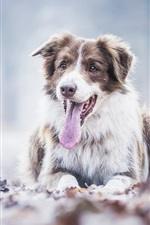 Preview iPhone wallpaper Australian shepherd dog rest, tongue, leaves