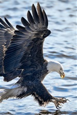 Preview iPhone wallpaper Bald eagle, flight, wings, water