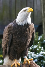Preview iPhone wallpaper Bald eagle, rest