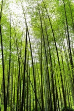 Preview iPhone wallpaper Bamboo forest, green, nature