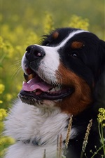 Preview iPhone wallpaper Bernese mountain dog, joy, flowers