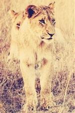 Preview iPhone wallpaper Big cat, lion, grass