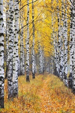 Preview iPhone wallpaper Birch forest, trees, grass, autumn