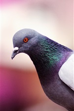 Preview iPhone wallpaper Bird close-up, dove