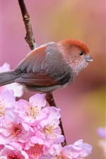 Preview iPhone wallpaper Bird, pink cherry flowers, spring