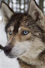 Cão rouco de olhos azuis, inverno, neve