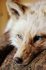 Blue eyes fox, look, rest