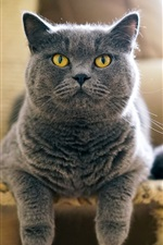Preview iPhone wallpaper British gray cat front view, yellow eyes