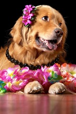 Preview iPhone wallpaper Brown dog and flowers, retriever
