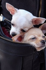 Preview iPhone wallpaper Chihuahua dogs in a bag